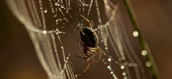 spider silk and glue genes